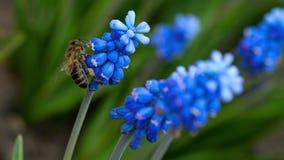 在穆斯卡里花的蜂