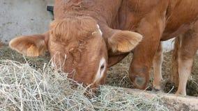 在穴和吃干草的一个红褐色的利姆辛公牛身分 种田概念的Eco 影视素材
