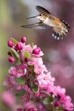 在空中垂直图象的蜂鸟翱翔 库存图片