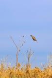 在空中的东Meadowlark 免版税库存图片