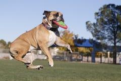 在空中的牛头犬与盘 免版税库存照片