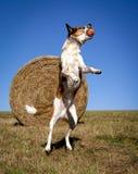 在空中的精力充沛的澳大利亚牛狗与橙色球 库存照片