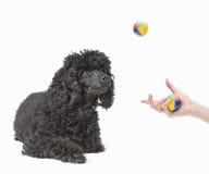 黑在空中的长卷毛狗观看的球 图库摄影