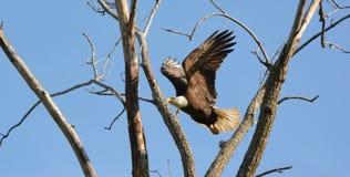 在空中飞行的白头鹰 库存照片