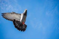 在空气的唯一鸽子飞行 免版税库存照片