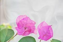 在空白丝绸背景的桃红色九重葛花 免版税库存图片
