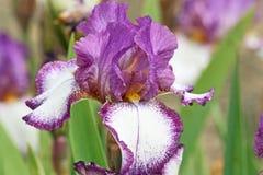 在空白和紫色的虹膜 库存照片