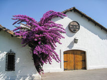 在空白墙壁上的紫色结构树 免版税图库摄影