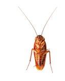在空白背景查出的一只停止的蟑螂 库存照片