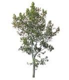 在空白背景查出的停止的结构树 免版税库存照片