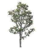 在空白背景查出的停止的结构树 库存图片