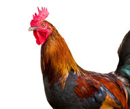 在空白背景查出的公鸡 免版税库存图片