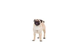 在空白背景查出的哈巴狗狗 图库摄影
