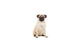 在空白背景查出的哈巴狗狗 库存图片