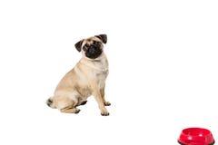 在空白背景查出的哈巴狗狗 免版税图库摄影