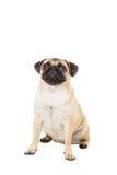 在空白背景查出的哈巴狗狗 免版税库存图片
