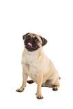 在空白背景查出的哈巴狗狗 库存照片
