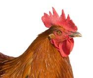 在空白背景查出的布朗雄鸡 免版税库存照片