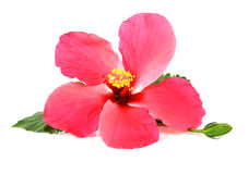 在空白背景查出的桃红色木槿花 免版税库存图片