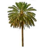 在空白背景查出的棕榈树 免版税库存图片