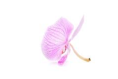 在空白背景查出的玫瑰色兰花 库存图片