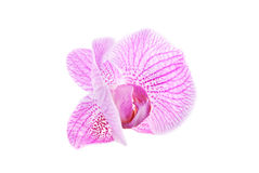 在空白背景查出的玫瑰色兰花 免版税库存图片