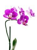 在空白背景查出的紫色兰花。 免版税库存照片