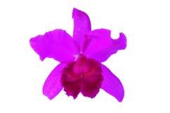 在空白背景查出的紫色兰花 免版税库存照片