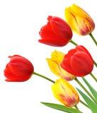 在空白背景查出的红色和黄色郁金香 库存图片