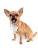 在空白背景查出的红色奇瓦瓦狗狗 库存图片