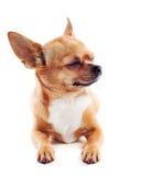 在空白背景查出的红色奇瓦瓦狗狗 免版税库存照片