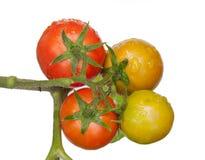 在空白背景查出的蕃茄 免版税图库摄影
