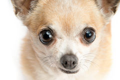 在空白背景查出的逗人喜爱的奇瓦瓦狗 库存照片
