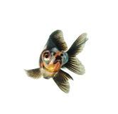 在空白背景查出的金鱼 免版税库存照片