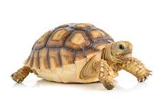 在空白背景的乌龟 免版税库存图片