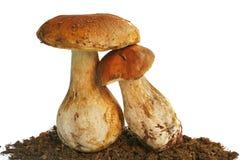 在空白背景的二个牛肝菌蕈类可食蘑菇 免版税库存图片