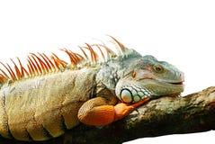 在空白背景的令人敬畏的鬣鳞蜥 免版税图库摄影