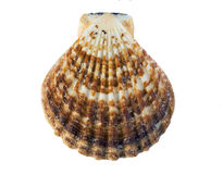 在空白背景的壳 免版税库存照片