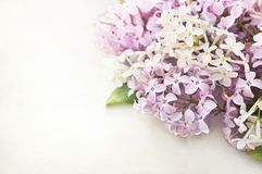 在空白背景的春天淡紫色花 库存照片