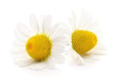 在空白背景的春黄菊 库存照片