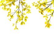 在空白背景的桔子叶子 库存照片