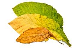 在空白背景的烟草叶子 图库摄影