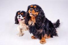 在空白背景的狗 免版税库存照片