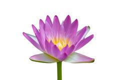 在空白背景的紫色莲花 免版税库存图片