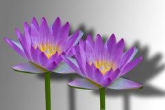 在空白背景的紫色莲花 免版税库存照片