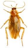 在空白背景的蟑螂 免版税图库摄影