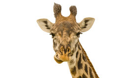 在空白背景的长颈鹿纵向 库存照片