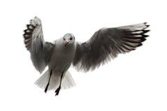 在空白背景的飞行海鸥 库存图片