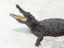 在空白背景的鳄鱼 免版税库存图片