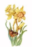 在空白背景的黄色水仙 免版税库存照片